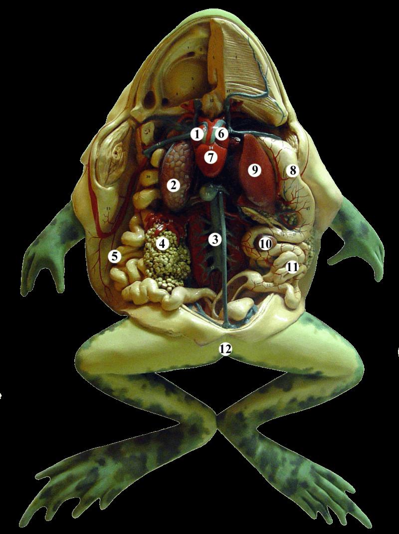 Kurbağa Anatomisi