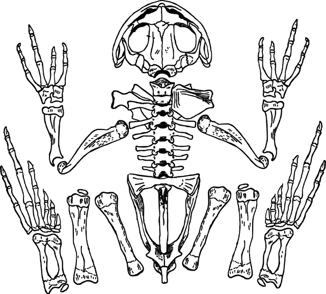 Kurbağa İskeleti