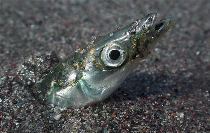 Kum Balığı