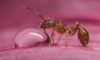 Su İçen Karınca