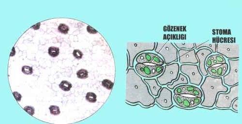 Yapraktaki Stoma Hücrelerinin İncelenmesi Deneyi
