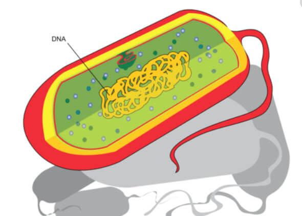 çekirdeksiz hücre