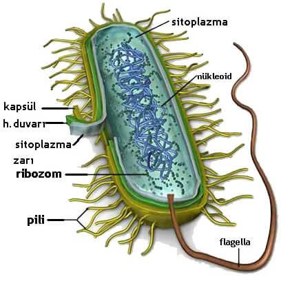 Prokaryot Hücre