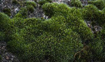 Bryophyte