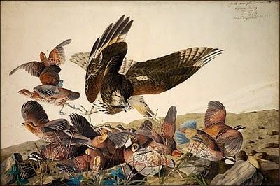 John James Audubon Kuş Resmi