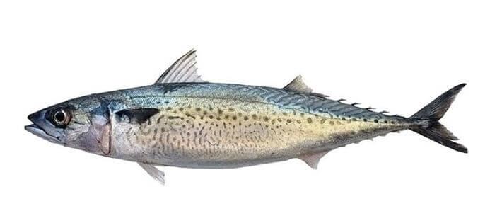 Kolyos Balığı