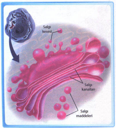 Golgi Aygıtı