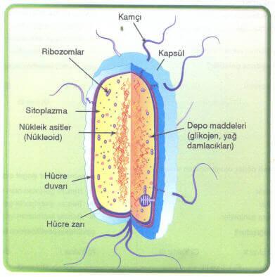 Bakterinin Yapısı
