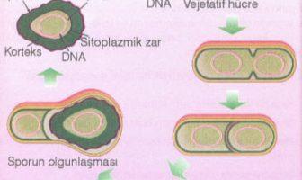 Bakterilerde Endospor Oluşumu