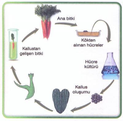 Hücre ve Doku Kültürü