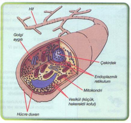 Mantar Hücresi