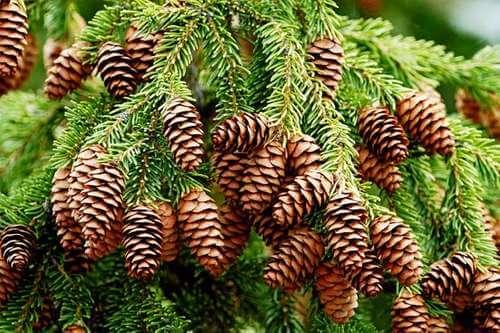 Pinaceae - Çamgiller