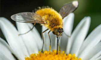 Arı Sineği