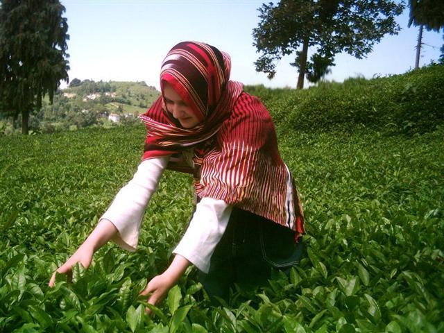 Karadeniz'de çay toplayan bir Karadeniz kadını