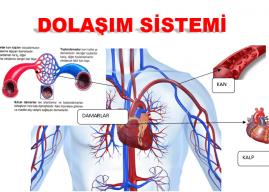 Kanın Vücutta Dolaşımını Sağlayan Organlar Nelerdir? Görevleri