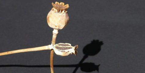 Afyon Nasıl Bir Bitkidir? Afyon, Haşhaş Özellikleri, Kullanımı, Yetiştiği Yerler
