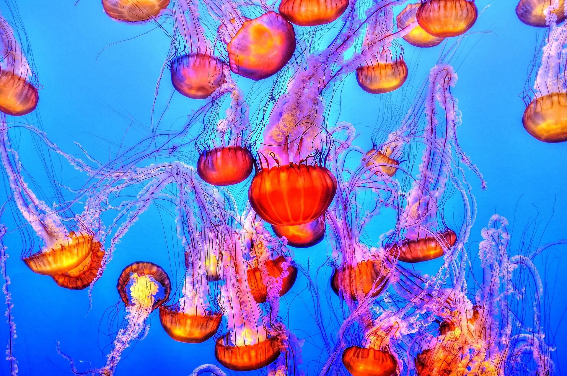 Renkli Denizanaları