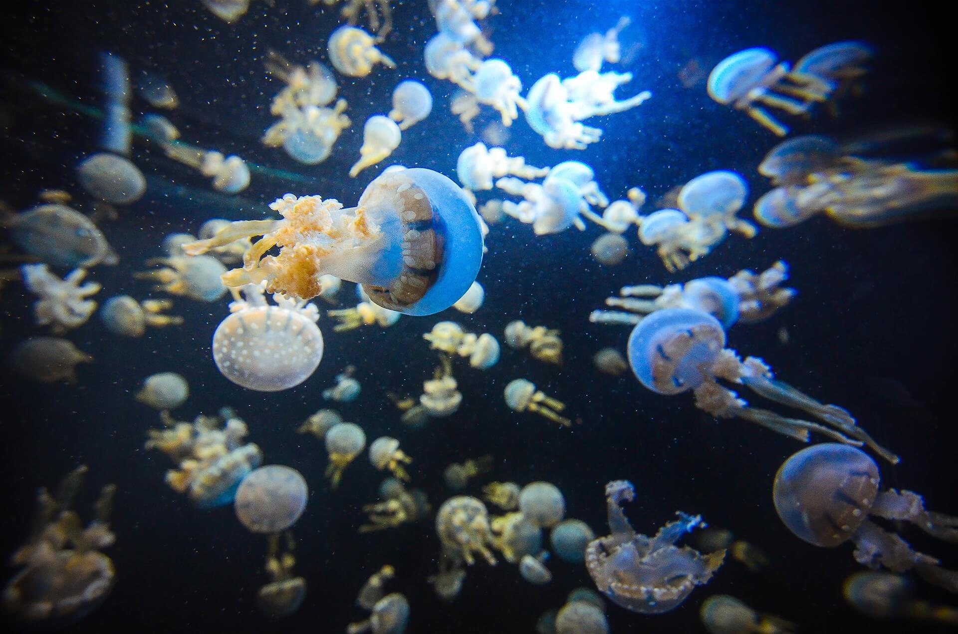 Denizanaları