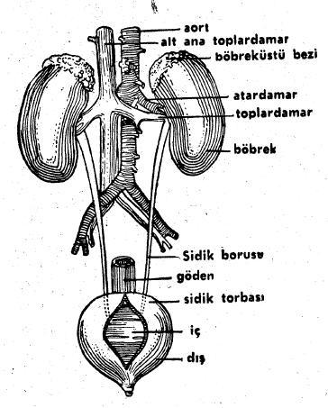 Boşaltım Sistemi ve Organları
