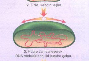 Bakterilerin Üremesi
