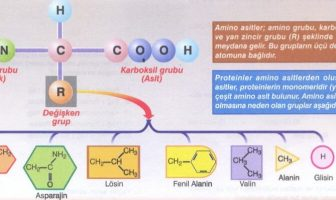 Proteinlerin Özellikleri Nelerdir?