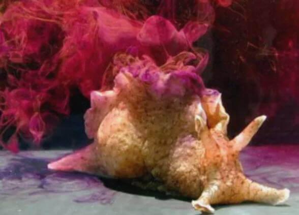deniz tavşanı