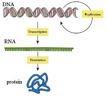 DNA, RNA ve Protein Yapısı