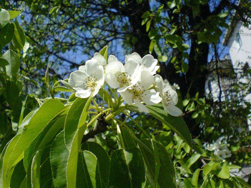 Armut Çiçeği