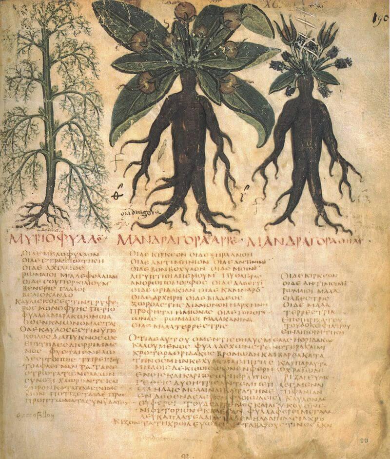 Mandrake (Yunan başkentlerinde 'ΜΑΝΔΡΑΓΟΡΑ' olarak yazılmıştır). Napoli Dioscurides, 7. yüzyıl