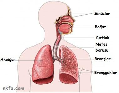 Solunum Sistemi şeması