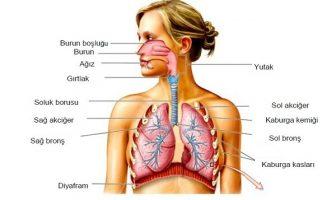 Solunum Sistemi Şemaları