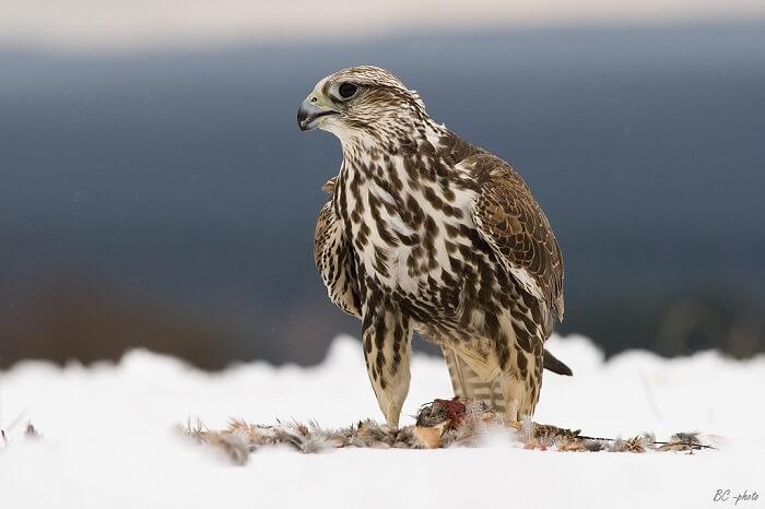 Doğan Kuşu