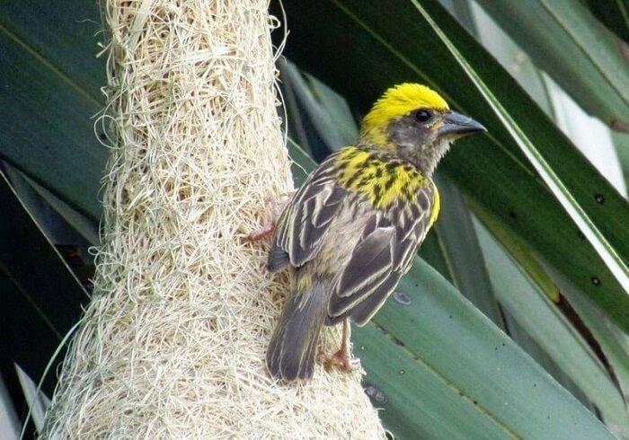 dokumacı kuş