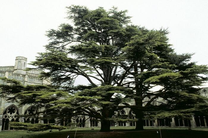 Sedir Ağacı