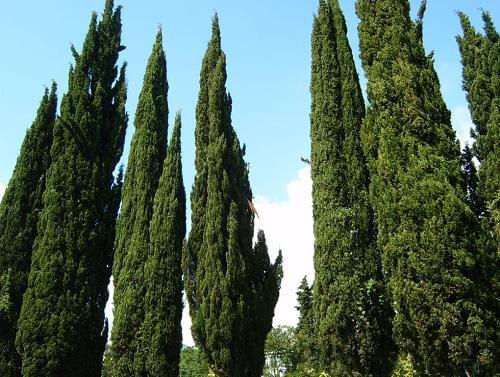 Servi Ağacı