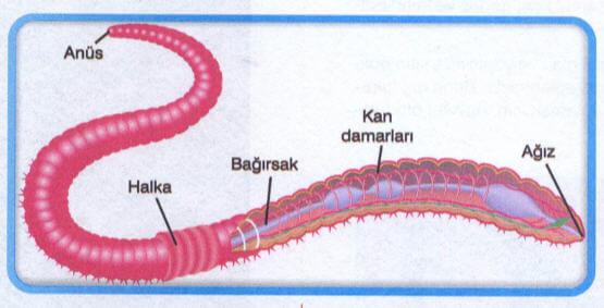 Solucanın Yapısı