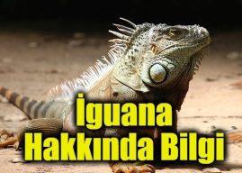 İguananın Özellikleri Nelerdir?