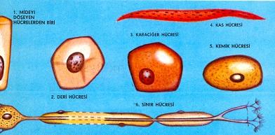 İnsanda hücreler; 1. Midenin iç çeperini örten hücrelerden biri. 2.  Derinin iç tabakasından bir hücre. 3. Bir karaciğer hüeresi. 4. 5 cm. den 50  cm. ye kadar uzunlukta olabilecek bir kas hücresi. 5. Bir kemik hücresi. 6. 100  cm. kadar uzun, fakat 1/2500 cm. den de küçük çapta olabilecek bir sinir hücresi
