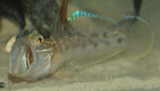 Palyaço Kaya Balığı