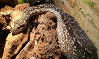 boa yılanı