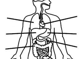 İnsan Vücudu Organlarımız Boyama Sayfaları – Vücudumuzu Tanıyalım