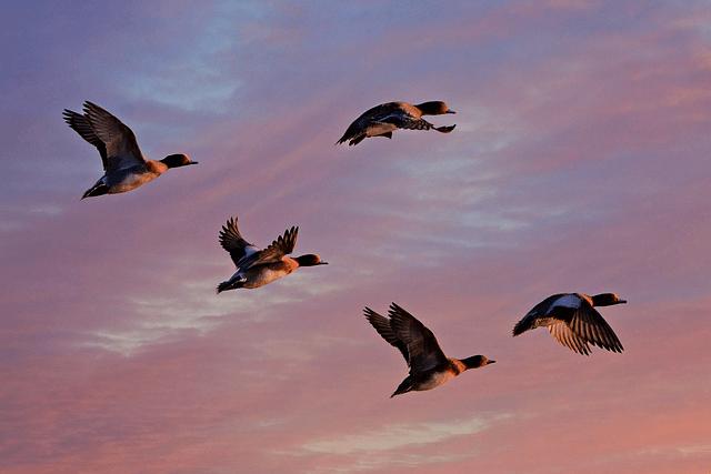 Uçan Ördekler