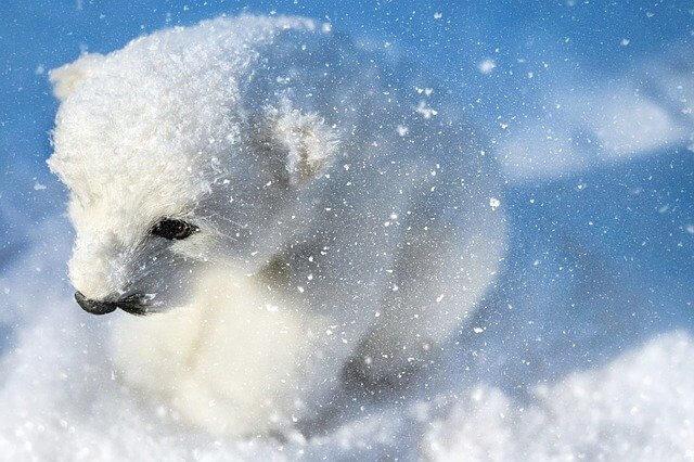 Kutup Ayısı yavrusu çok daha beyaz bir renktedir.
