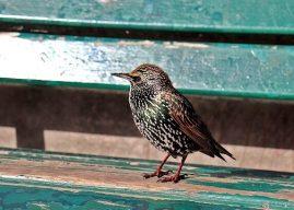 Sığırcık Nasıl Bir Kuştur, Özellikleri, Habitatı, Beslenme Üreme Davranışı