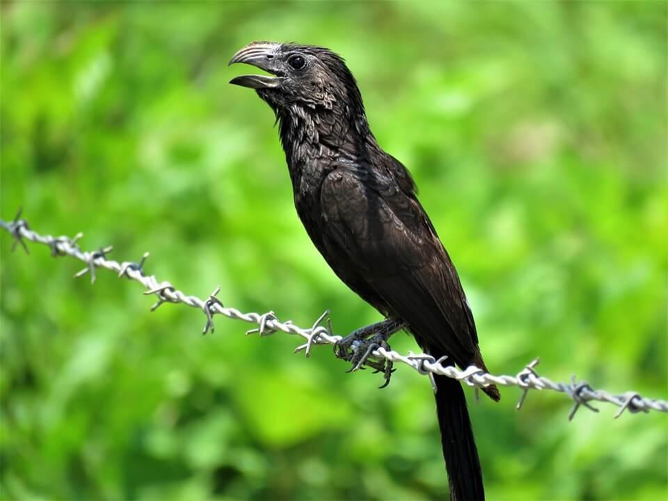 Ani Kuşu