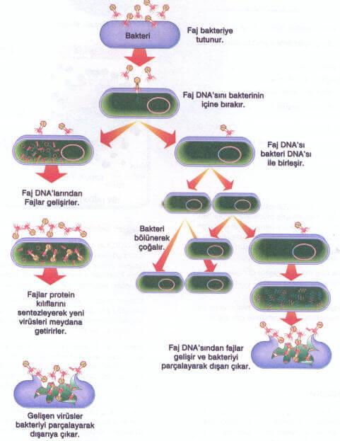 Virüslerin Çoğalması