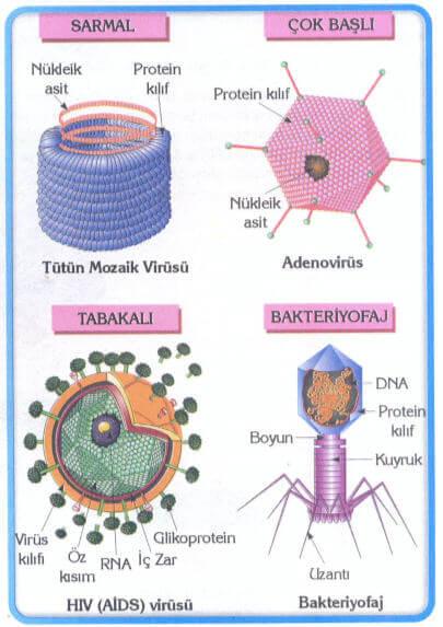 Virüslerin Şekilleri