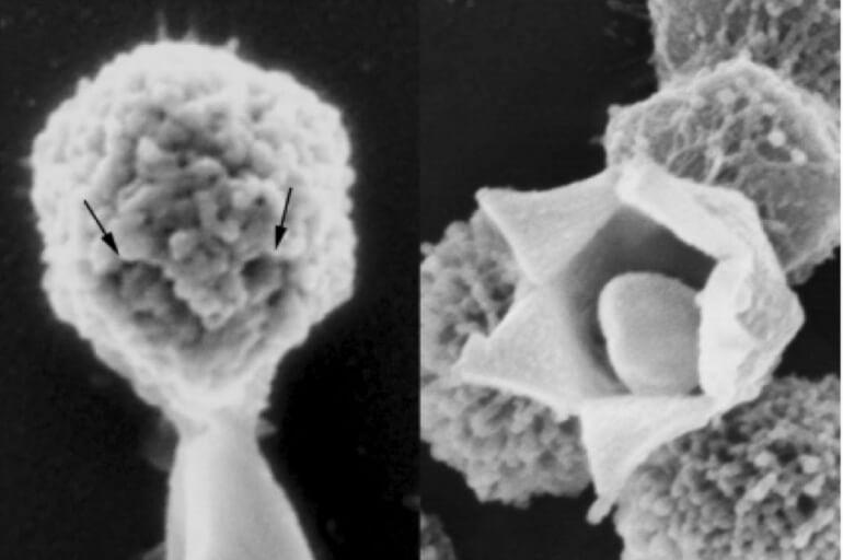 Mimivirüs