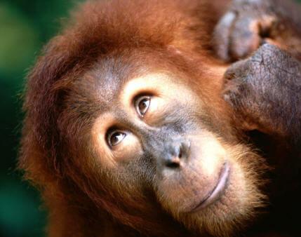 Sumatra Orangutanı