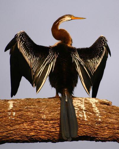 Yılanboyun kuşu